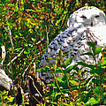 Snowy Owl In Salmonier Nature Park-nl by Ruth Hager