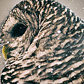 Snowy Owl In Snow Storm -- Blizzard by Lynn Langmade