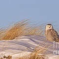 Snowy Owl In The Dunes by Dale J Martin