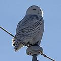 Snowy Owl by Jim Walker