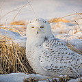 Snowy Owl by Jose Cruz