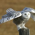 Snowy Owl by Karen Nitz