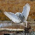 Snowy Owl Landing by Shari Sommerfeld