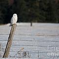 Snowy Owl Landscape by Cheryl Baxter