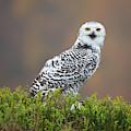 Snowy Owl by Milan Zygmunt