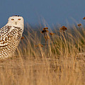 Snowy Owl Morning by Max Waugh