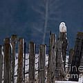 Snowy Owl On A Fence by Cheryl Baxter