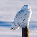 Snowy Owl On A Post by Shannon Carson