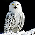 Snowy Owl On A Twilight Winter Night by Inspired Nature Photography Fine Art Photography
