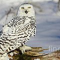 Snowy Owl On A Winter Hunt by Inspired Nature Photography Fine Art Photography