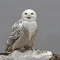 Snowy Owl On An Ice Flow by John Vose