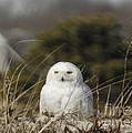 Snowy Owl On Cape Cod by Amazing Jules