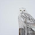 Snowy Owl Perfection by Cheryl Baxter