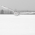 Snowy Owl Pictures 3 by Michael Cummings
