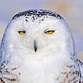 Snowy Owl Portrait by Tony Beck