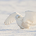 Snowy Owl- Ready For Takeoff by John Vose