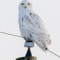 Snowy Owl by Richard Kitchen