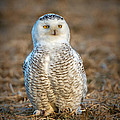 Snowy Owl by Ronald Lutz