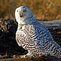 Snowy Owl by Shari Sommerfeld