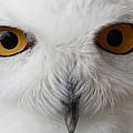 Snowy Owl Stare by Andrew McInnes