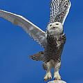 Snowy Owl Taking Flight by Everet Regal
