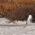 Snowy Owl by Traci Law