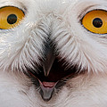 Snowy Owl Up Close And Personal by Laura Duhaime