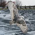 Snowy Owl Wingspan by Tracy Winter