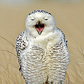 Snowy Owl Yawning by Anthony Mercieca