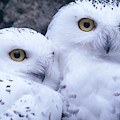 Snowy Owls by Paal Hermansen