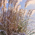 Snowy Pampas Grass by Lydia Holly