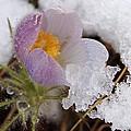 Snowy Pasqueflower by Dakota Light Photography By Dakota