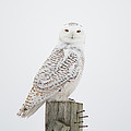 Snowy Perched Profile by Cheryl Baxter