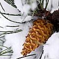 Snowy Pine Cone by Elena Elisseeva