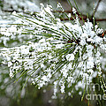 Snowy Pine Needles by Elena Elisseeva