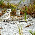 Snowy Plover And Chick by Larry Allan