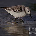 Snowy Plover by Ron Sanford