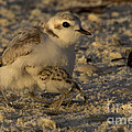 Snowy Plover Transformation Into A Spiderbird 1 by Meg Rousher