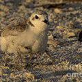 Snowy Plover Transforms Into A Spiderbird 2 by Meg Rousher