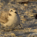 Snowy Plover Transforms Into A Spiderbird 3 by Meg Rousher