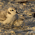 Snowy Plover Transforms Into A Spiderbird 4 by Meg Rousher