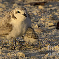 Snowy Plover Transforms Into A Spiderbird 5 by Meg Rousher