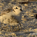 Snowy Plover Transforms Into A Spiderbird 6 by Meg Rousher
