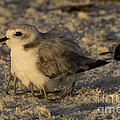 Snowy Plover Transforms Into A Spiderbird 8 by Meg Rousher