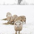 Snowy Sheep by Anne Gilbert