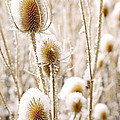 Snowy Thistle by The Forests Edge Photography - Diane Sandoval