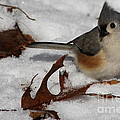 Snowy Titmouse by Jeffrey Stacey