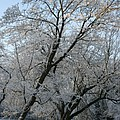 Snowcovered Trees by Christiane Schulze Art And Photography