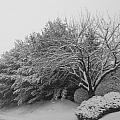 Snowy Trees In Black And White by Michael Porchik