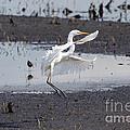 Snowy White Egret by Lori Tordsen